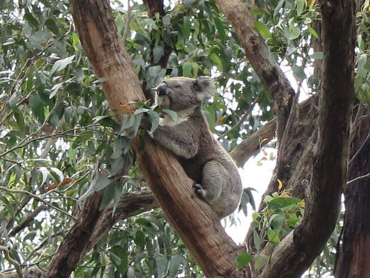 Koala in boom langs Great Ocean Road